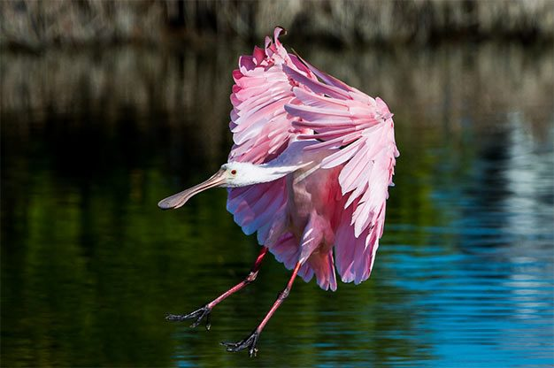 roseate spoonbill over water