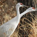 8 Interesting Facts About Sandhill Cranes