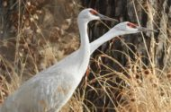 A pair of sandhill cranes