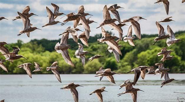 sandpiper flock