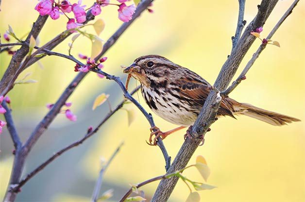 song sparrow bird pictures