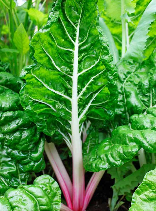 Swiss chard grows well in shade.