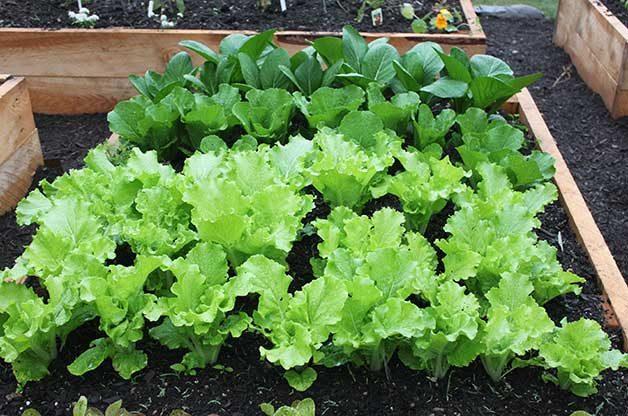 Rows of Tokyo Bekana cabbage