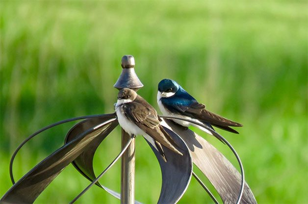 tree swallows on backyard wind spinner