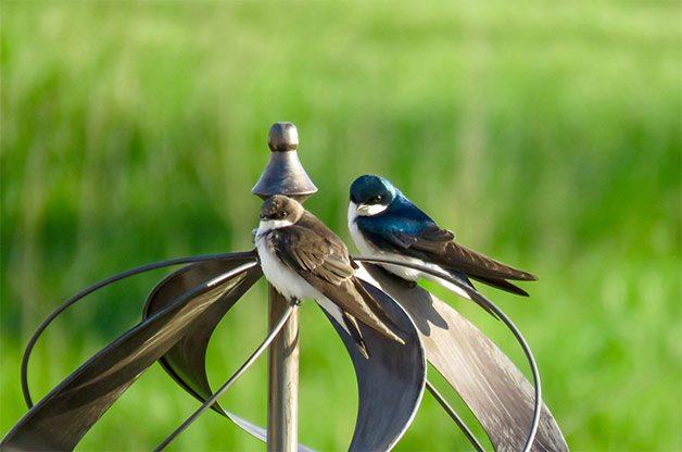 tree swallows on backyard wind spinner