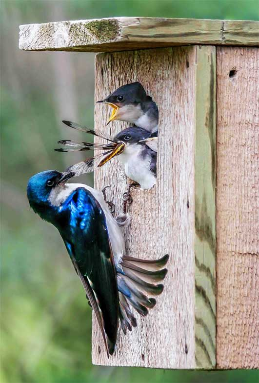 Tree swallows feeding dragonfly to young.