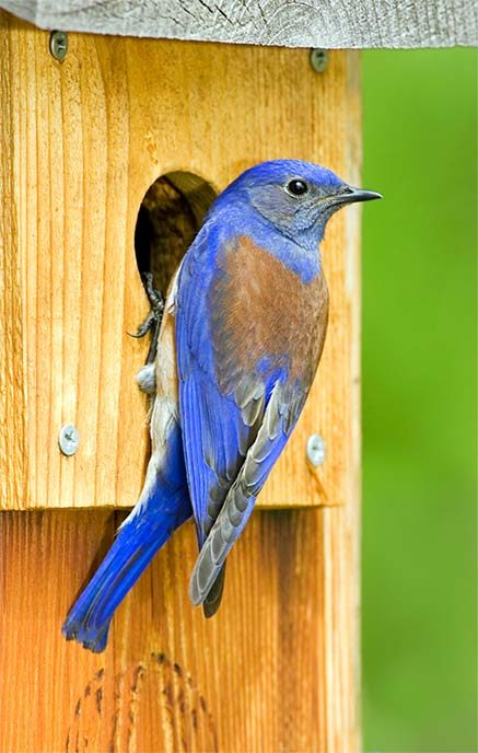 western bluebird at nesting box