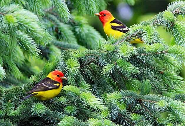 two western tanagers in pine tree