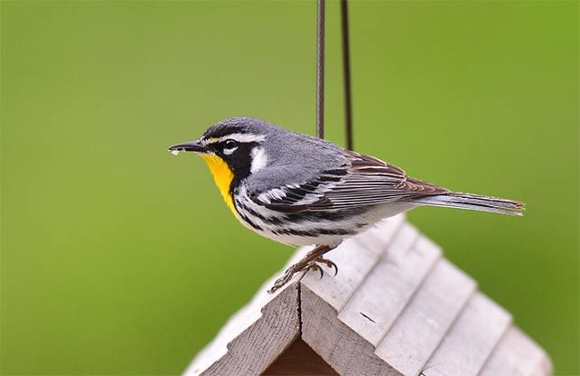 yellow-throated warbler on birdhouse