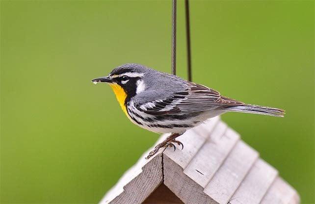 yellow-throated warbler on birdhouse