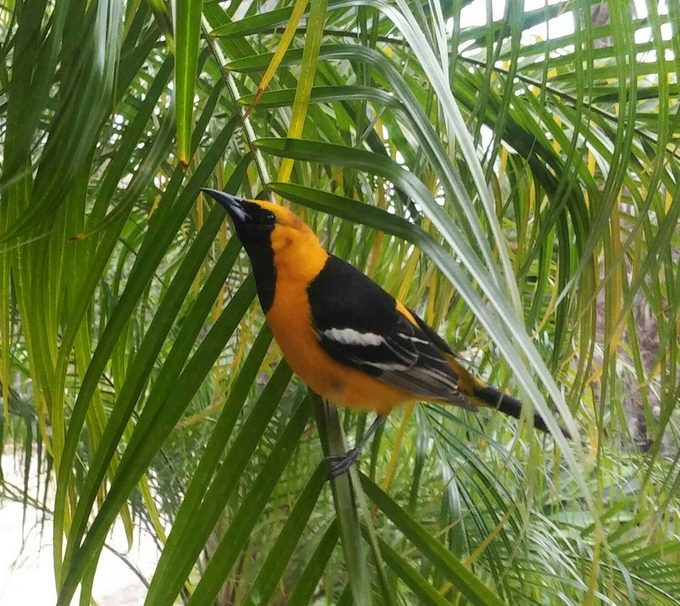 hooded oriole, oriole species