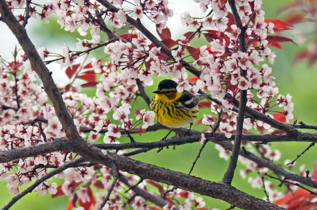Cape May Warbler Lisa Dawson Spring Migratory Birds