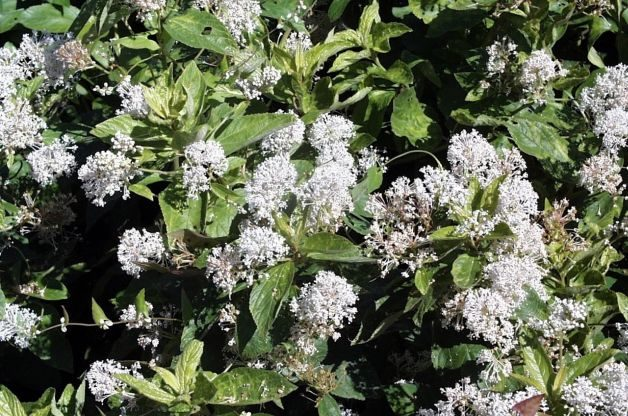 Flowering Shrubs Butterflies Ceanothus PD