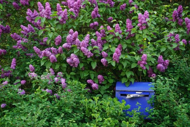 Flowering Shrubs Butterflies Lilac uschel pixabay