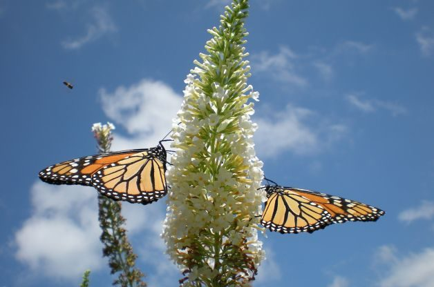 Flowering Shrubs Butterflies Monarchs White Buddleia Donna Niagaragal