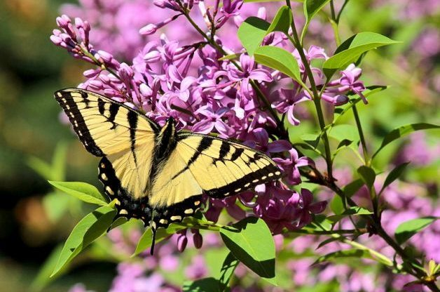 Flowering Shrubs Butterfly Tiger Swallowtail Lilac Janine Martin