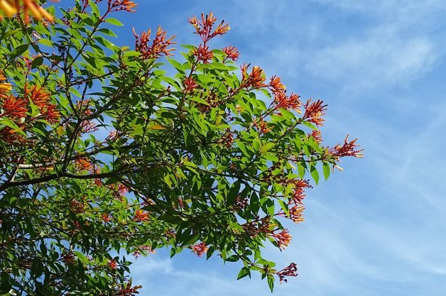 Flowering Shrubs Firebush