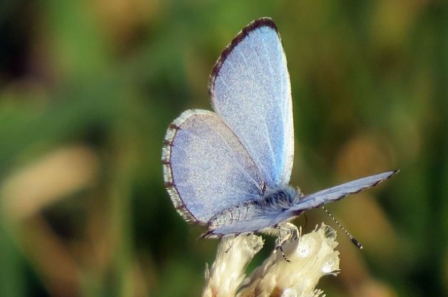 Spring Azure Spring Butterflies Lana Varner