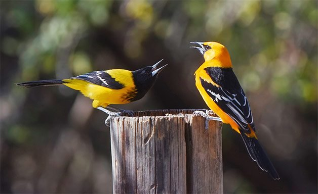 audubon's and altamira oriole