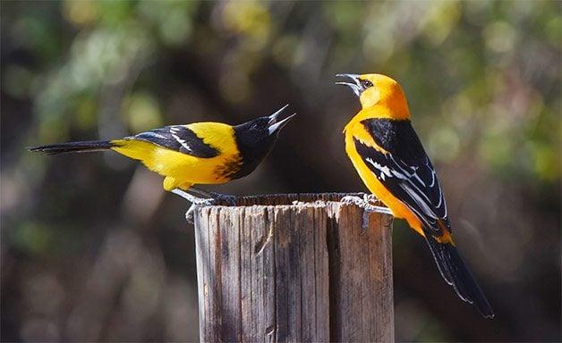 audubon's and altamira oriole