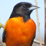 The 8 Oriole Species You Should Know