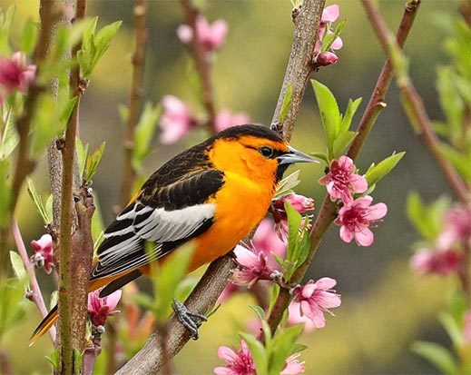 bullock's oriole in flowering tree