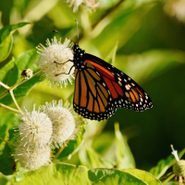 bushes that attract butterflies