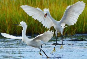 Caption This! Snowy Egret Fight