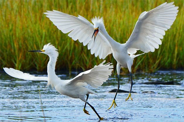 Two snowy egrets chase each other.