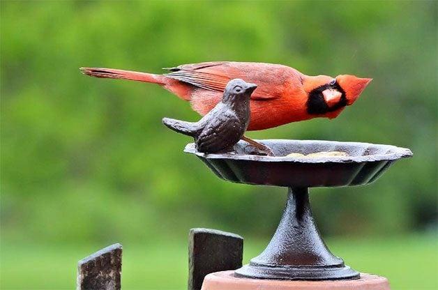 cardinal at stone birdbath looking at stone cardinal