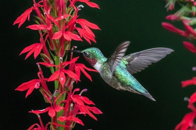 Cardinal flower and hummingbird