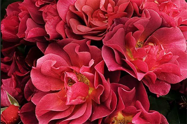 cluster of floribunda roses
