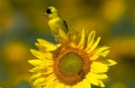 American goldfinch perched on a sunflower