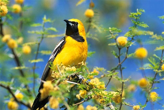 hooded oriole on whitethorn acacia
