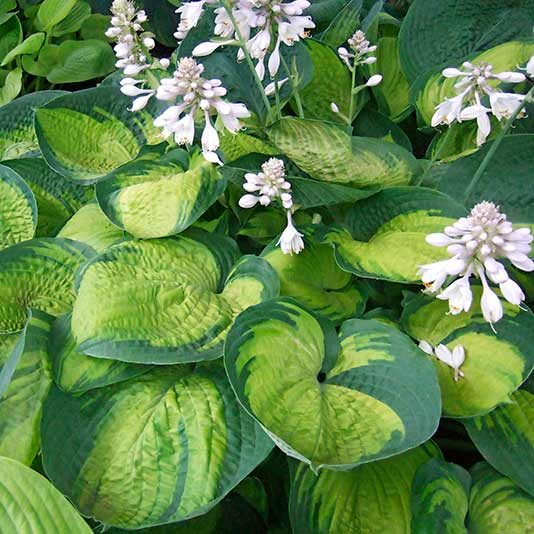 hosta with white blossoms