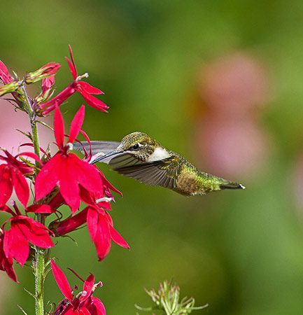 ruby throat at cardinal flower