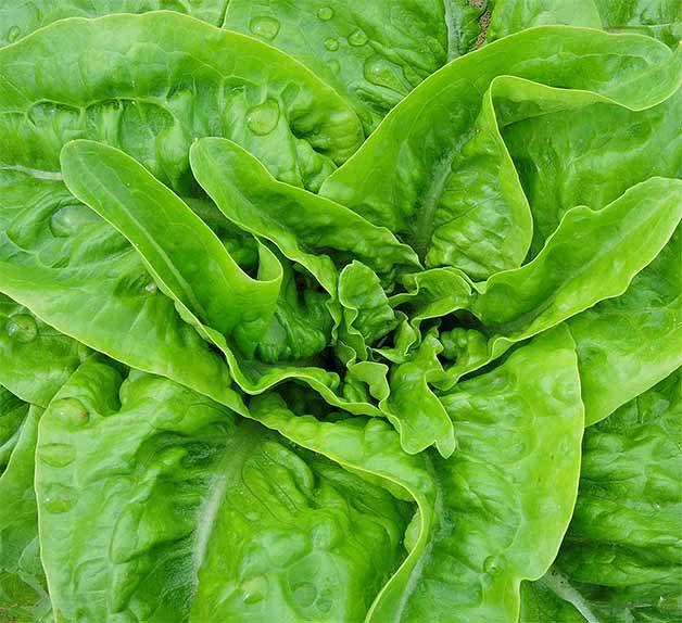 Jebousek lettuce
