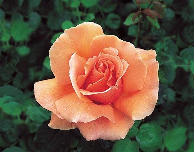 peach hybrid tea rose just joey
