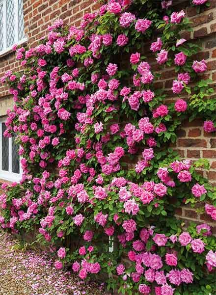 pink climbing roses on a brick wall