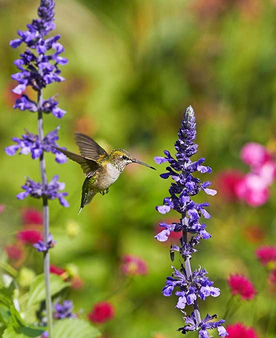 ruby throated hummingbird at salvia