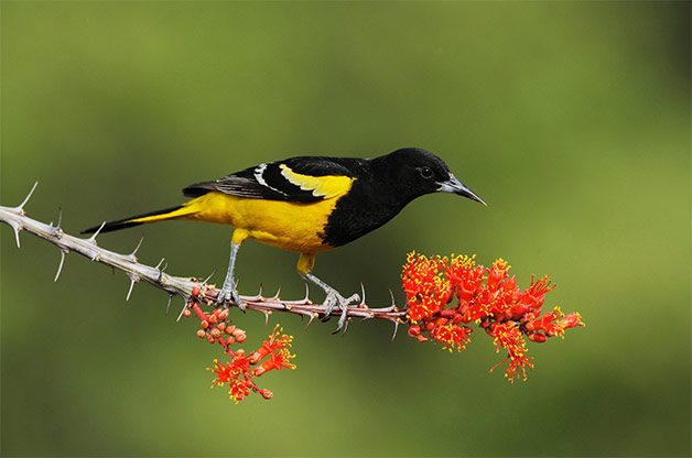 scott's oriole on blooming octotillo