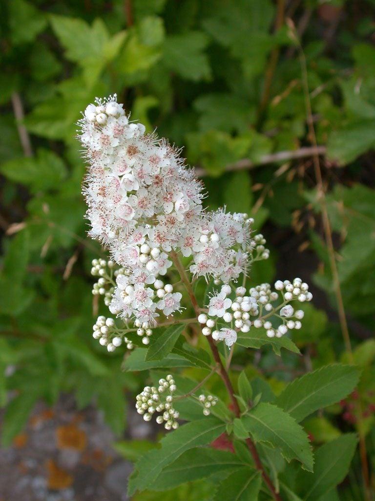 meadowsweet shrub