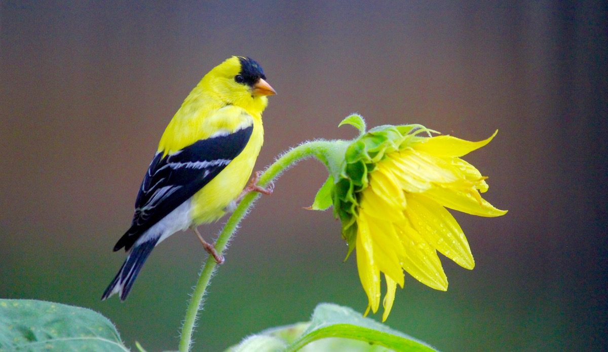 goldfinch and sunflower