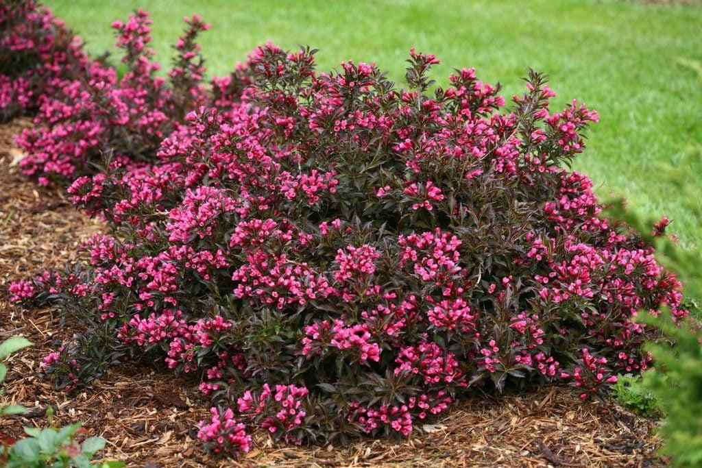 weigela shrub