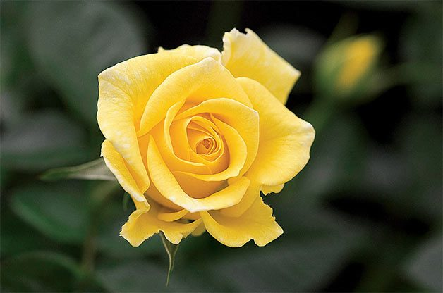 single yellow miniflora rose