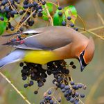Cedar Waxwing Migration: Where Do Waxwings Go in Winter?