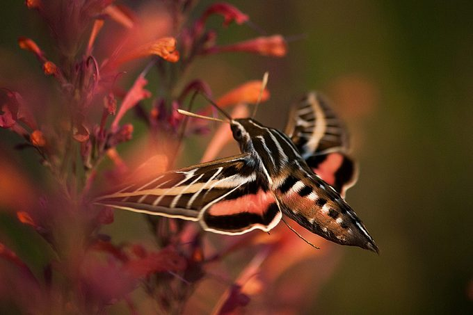 sphinx moth; moth vs butterfly