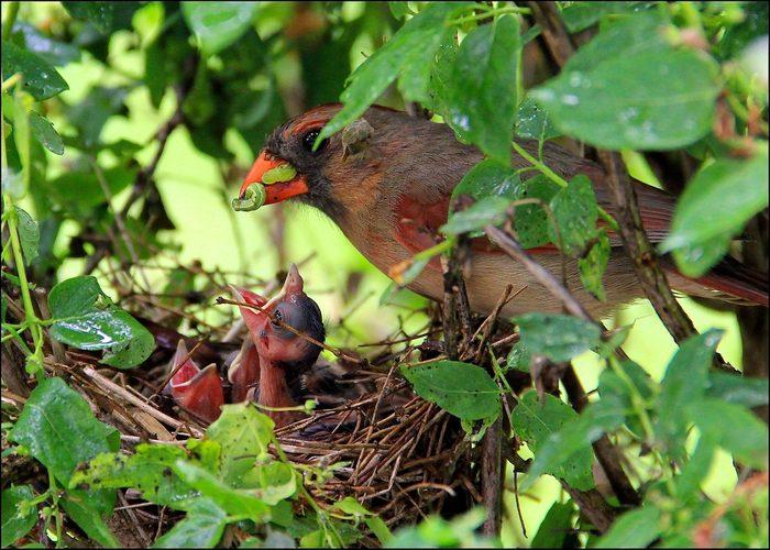 cardinal nest, what do baby cardinals eat