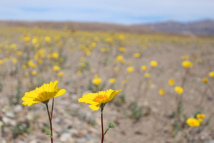 Super Bloom in Death Valley