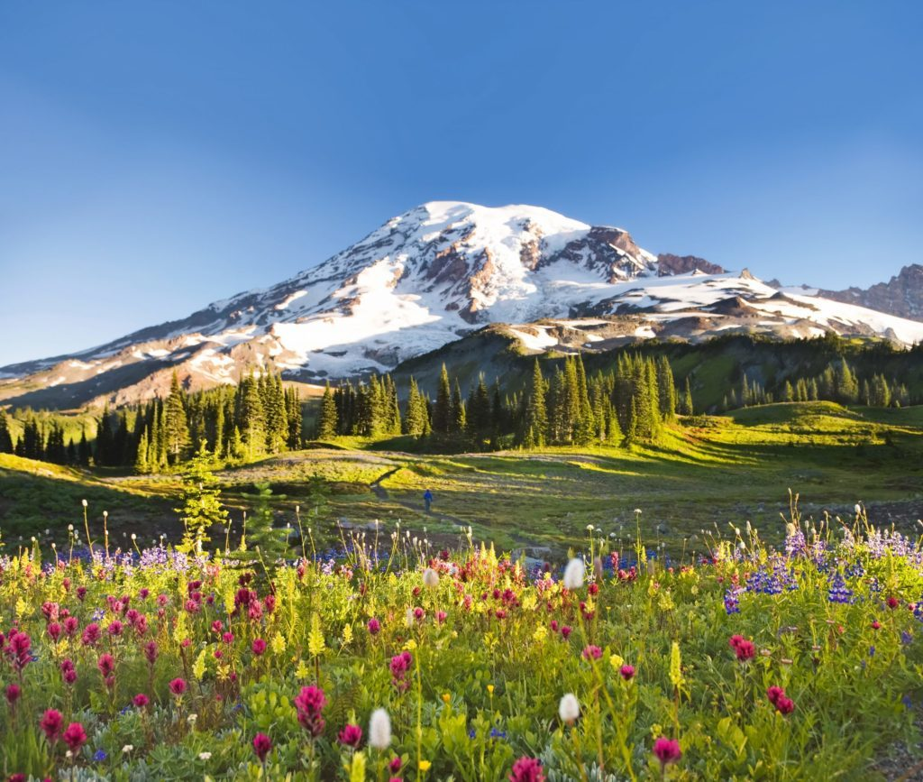 USA, Washington, Mt. Rainier National Park, wildflowers and hiker